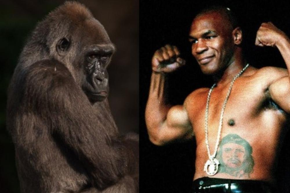 """Majk Tajson je želeo """"boks meč"""" protiv vrlo snažne gorile."""