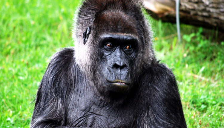 Mnogi veruju da Majk Tajson ne bi imao puno šanse da je zakoračio u kavez sa gorilom.